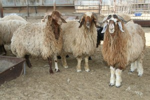 A reasonable sheep currently costs around 600 dinars.
