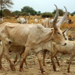 Possible foot-and-mouth outbreak reported in Kufra