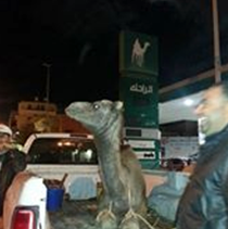 A camel for sacrifice to celebrate the end of the fuel crisis.