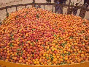 The organizers of the Orange Peace festival were aiming to set a world record by having 6,000 kgs of fresh oranges in one basket (Photo: social media).